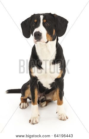Entlebucher Mountain Dog
