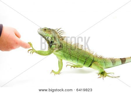 Iguana Is Shaking Hands