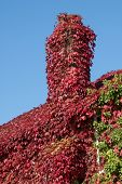 pic of creeping  - creeping red ivy covering a cottage rooftop - JPG