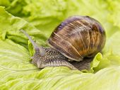 pic of hermaphrodite  - Brown Burgundy snail eating a lettuce leaf - JPG