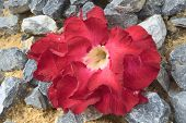 pic of desert-rose  - Adenium flower AKA Desert rose over rocks and sand - JPG