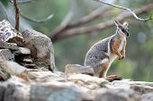 stock photo of wallabies  - A close up shot of an Australian Rock Wallaby - JPG