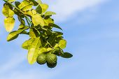 picture of leech  - Kaffir lime on tree outdoor on blue sky background leech lime - JPG
