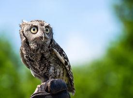 foto of screech-owl  - Portrait of Eastern Screech Owl  - JPG