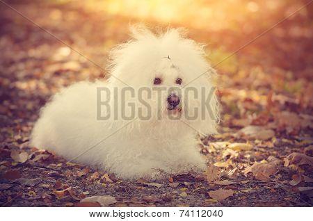 Bichon Bolognese Dog Relax In Park