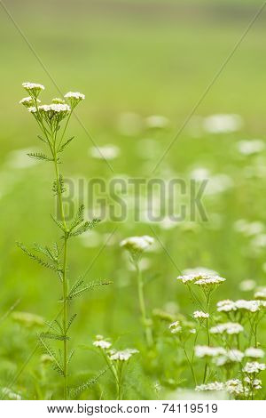 White Wildflowers In Meadow
