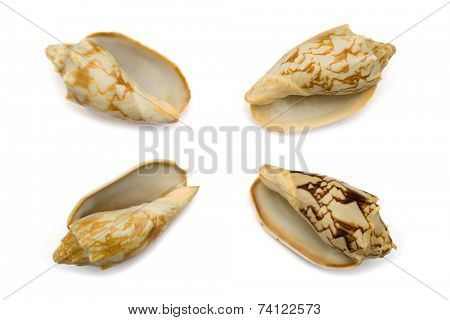 Four conches, close-up, isolated on white background