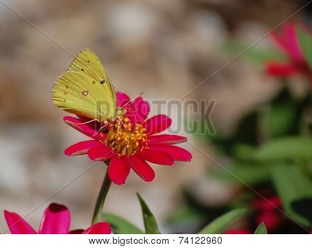 Yellow Moth Alighting on Flower