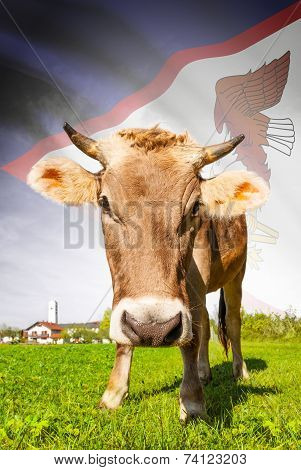 Cow With Flag On Background Series - American Samoa