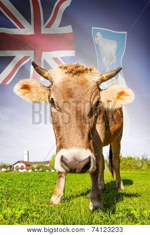Cow With Flag On Background Series - Falkland Islands