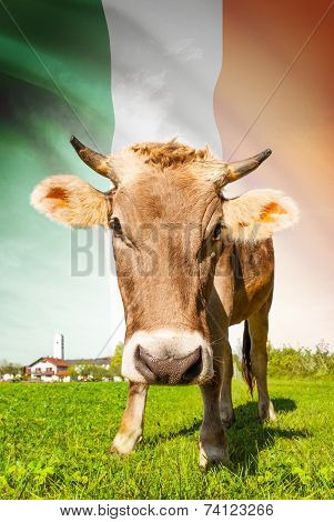 Cow With Flag On Background Series - Ireland