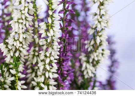 Close-up of white and purple heather flowers
