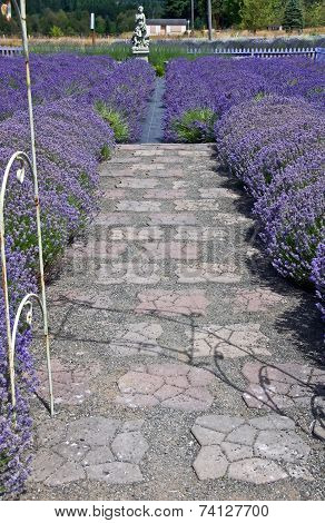 Path Along Lavender Fields