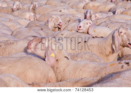 A Graze Of Sheeps With One Emerging