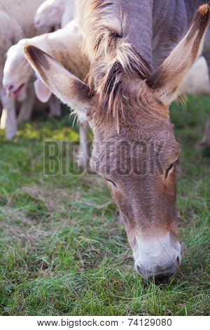 Donkey Eating Grass Near A Flock Of Sheeps