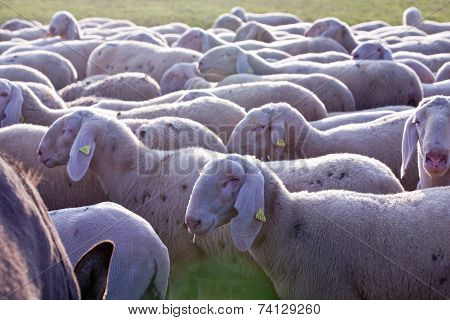 Sheeps In Countryside Grazing Pacefully