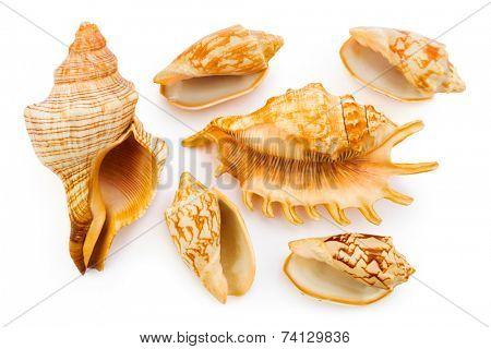 Group of sea conch isolated on white background