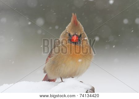 Cardinal In Snow In Snow