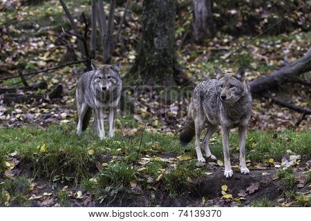 Coyotes in a forest