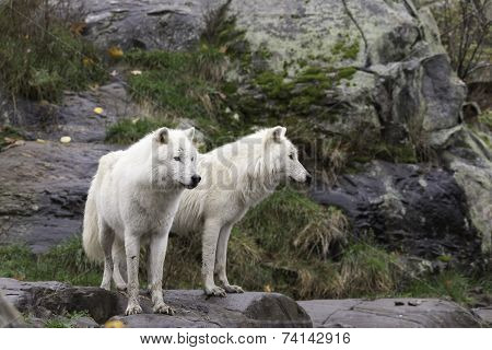 A pair of Arctic Wolves