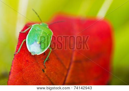 Green Stink Bug Macro