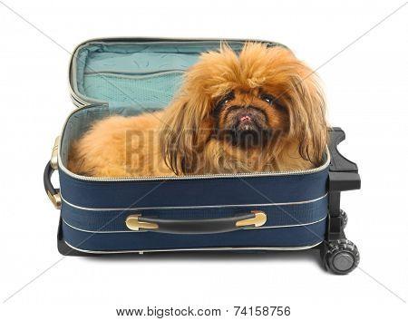 Dog in travel case isolated on white background
