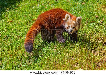 Red panda bear - animal background