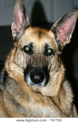german sheppard closeup