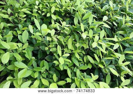 background of ficus leaves (Ficus benjamina L.)