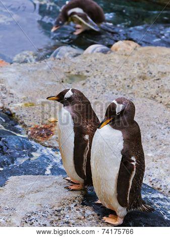 Penguins in park at Bergen Norway - animal background