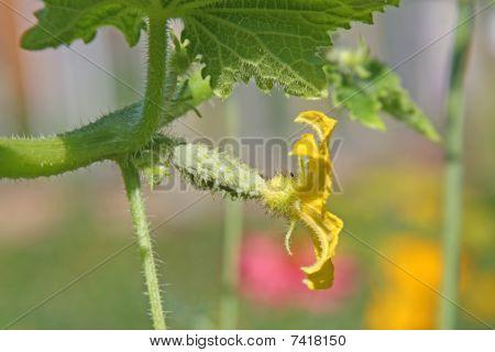 Cucumber Flower On The Vine