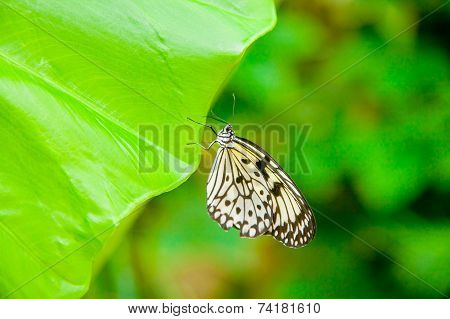 Tree Nymph Butterfly On A Leaf