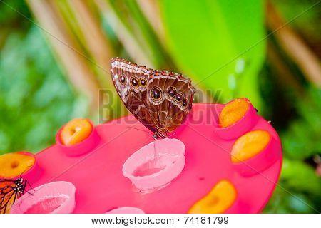 Emperor Butterfly Drinking Honey