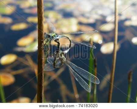 Emerald Damselflies (mating pair)