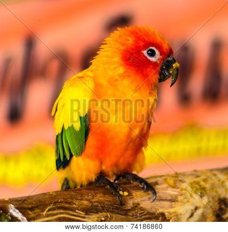 Baby Sun Conure Parrots