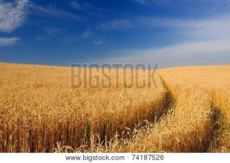 Ripening Golden Ears Of Wheat In The Field Under Blue Sky