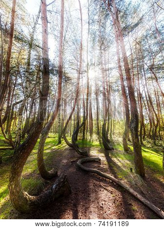 Beautiful Morning In The Crooked Forest With Sun Rays And Long Shadows.