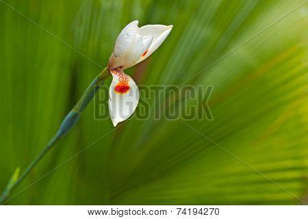 White Iris Flower Bud With Dew, Green Palm Leaf As Background