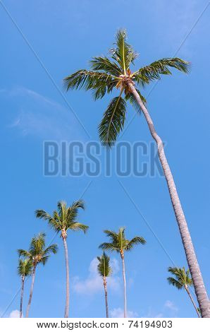 Tall Coconut Palm Tree
