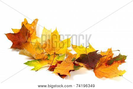 Dry Multicolor Maple Leafs Isolated On White Background