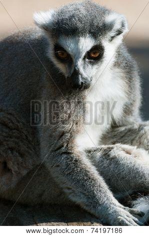 Ring-tailed Lemur Catta