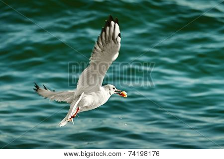 seagull with food in beak