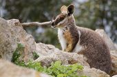 foto of wallabies  - Rock Wallabies are small kangaroos that live within rocky outcrops - JPG