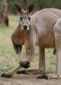 foto of terrestrial animal  - The red kangaroo  - JPG