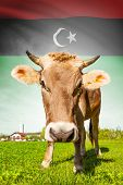 image of libya  - Cow with flag on background series  - JPG