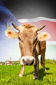 pic of sudan  - Cow with flag on background series  - JPG