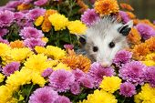 picture of opossum  - A Baby Opossum hiding in mums in the garden - JPG