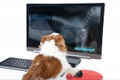 picture of status  - Chihuahua dog is checking health status that shown on computer display - JPG