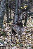 image of bambi  - A single male elk in the woods during fall - JPG