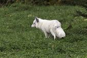 stock photo of arctic fox  - A lone Arctic Fox in a grassy field